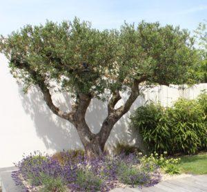 olivier centenaire massif lavandes