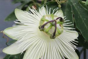 passiflore blanche marmin plante grimpante