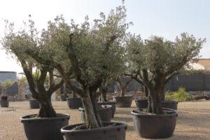 Olivier jardinerie Vendée