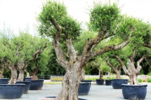 oliviers pépinière vendée