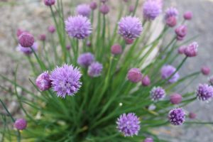 plantes condimentaires aromatiques