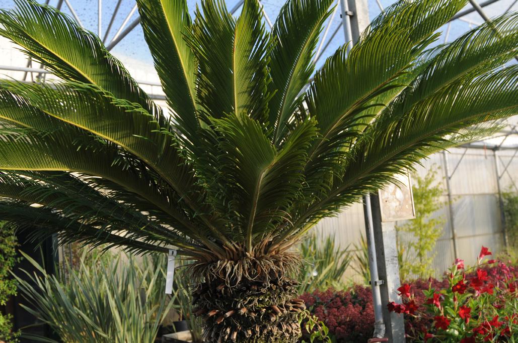 palmiers et plantes exotiques marmin paysage. Black Bedroom Furniture Sets. Home Design Ideas