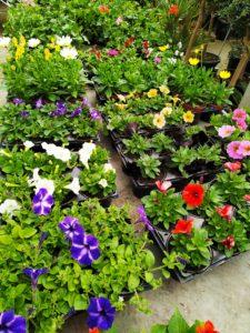 plantes fleurs annuelles pour fleurissement jardin