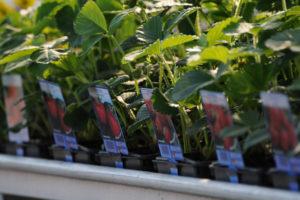 plants de fraisiers vendée