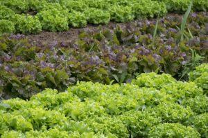 plant légumes potager producteur