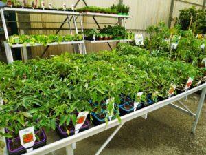 plants de légumes potager en godet marmin
