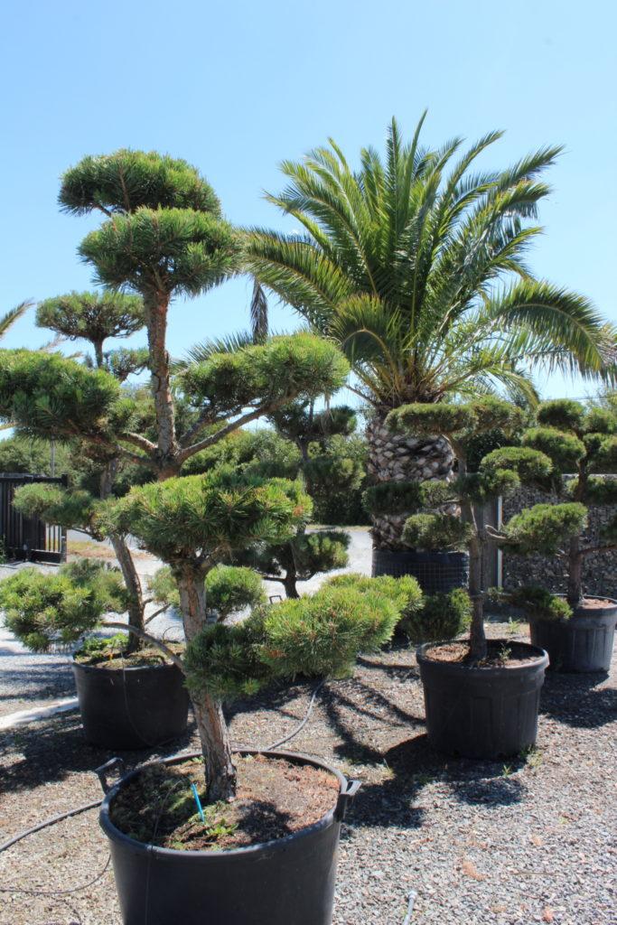 gros sujets pin bonsaï et phoenix