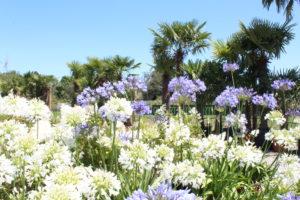 agapanthes en fleurs et palmier