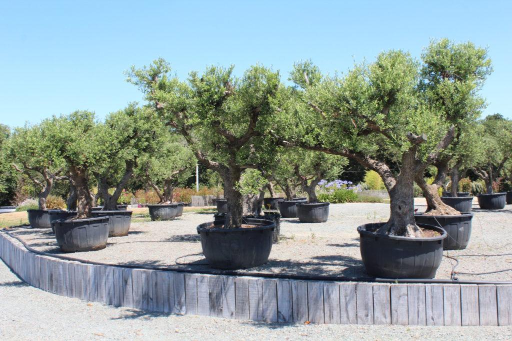 oliviers centenaires