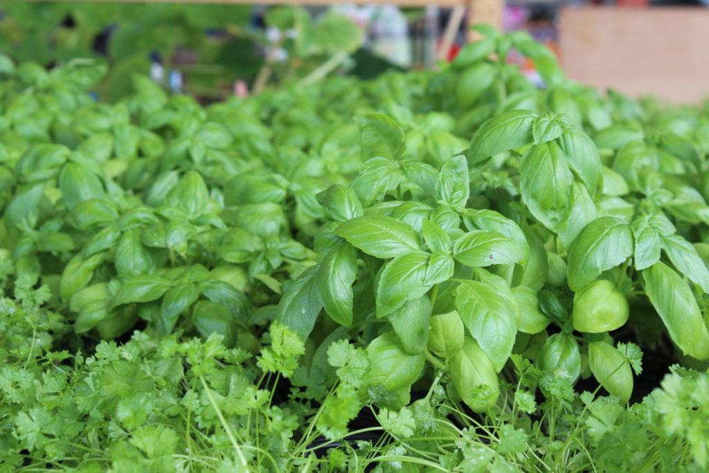 plantes aromatiques condimentaires potager montaigu vendee