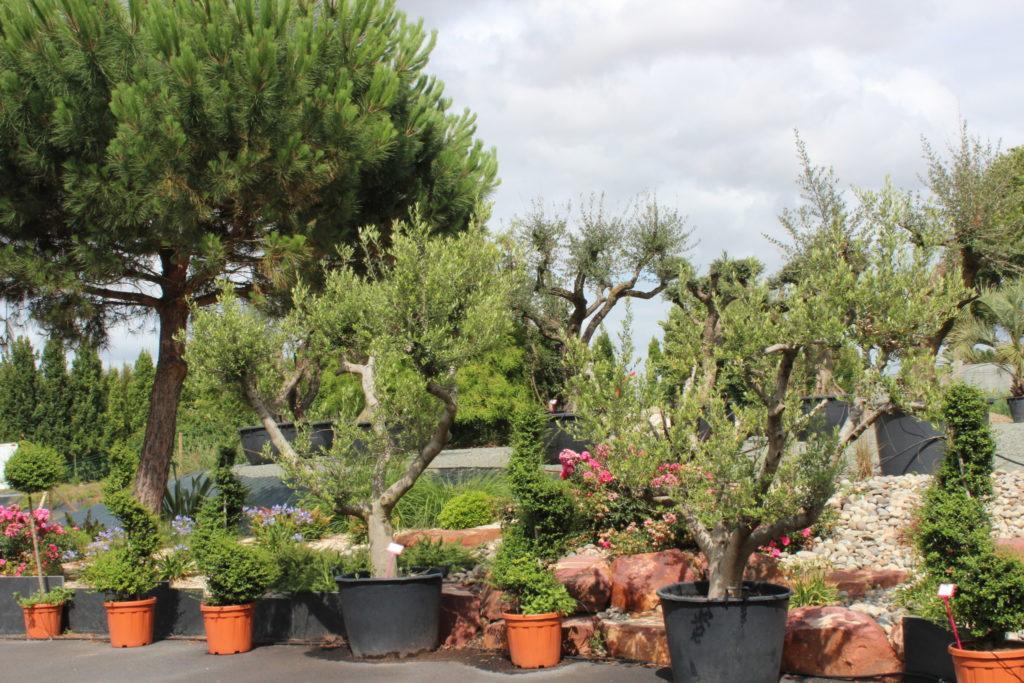 arbre arbuste taillé jardin montaigu vendee pepiniere