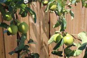 plantation arbre fruitier pommier